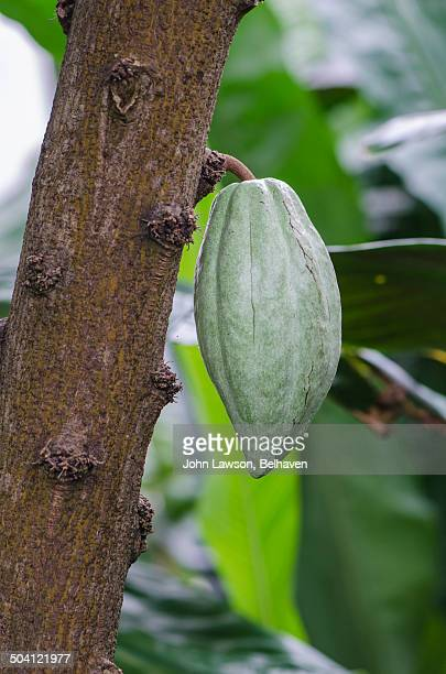 cocoa or cacao pod growing on a cocoa tree - theobroma imagens e fotografias de stock