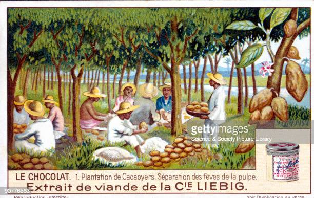 Cocoa plantation separation of beans from the pulp French Liebig trade card c1910 'Plantation de Cacaoyers Separation des feves de la pulpe' No 1 in...