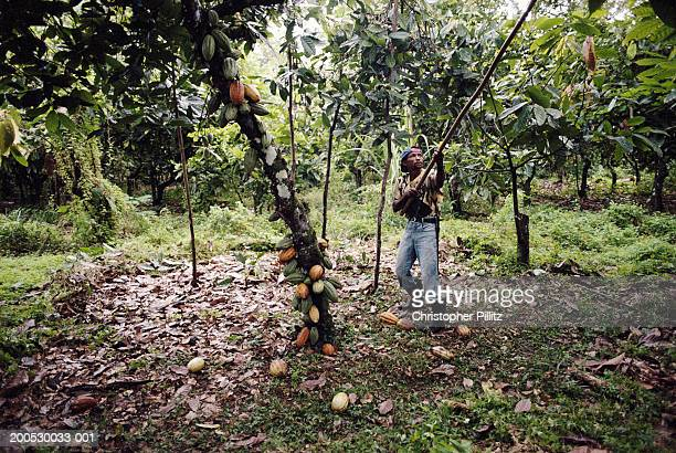 A Cocoa plantation worker harvests cocoa pods off trees, Bahia, Brazil.