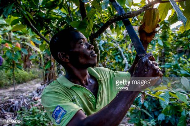 Cocoa planter harvesting in his plantation near Agboville Ivory Coast