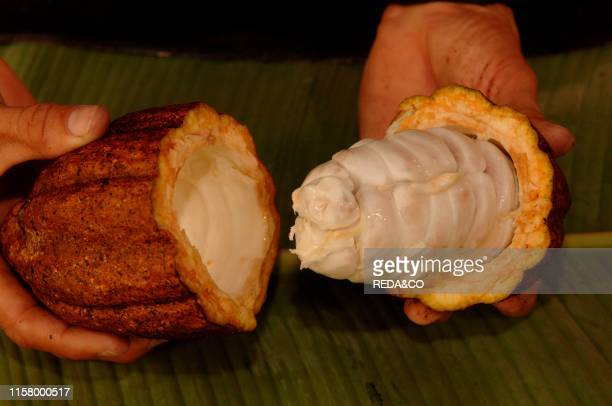 Cocoa pod and its beans a state plantation in Cuba