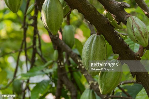 Cocoa pods on tree in a plantation, Palakkad, Kerala, India