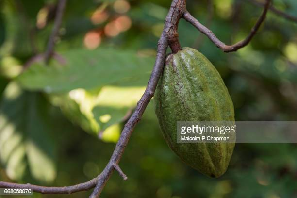 Cocoa pods on tree in a plantation, Palakkad, Kerala, India