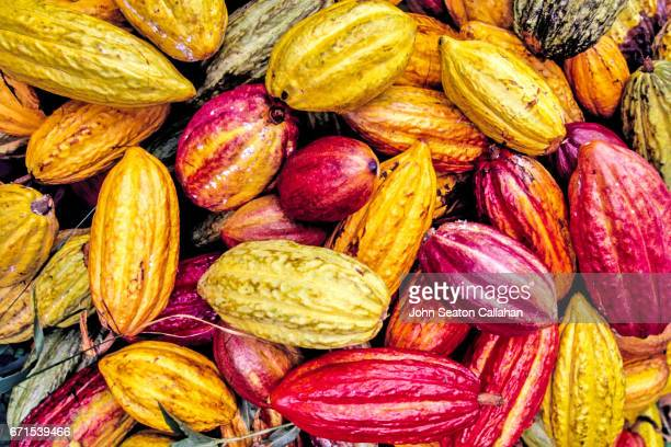 cocoa pods - cacao tree stock photos and pictures