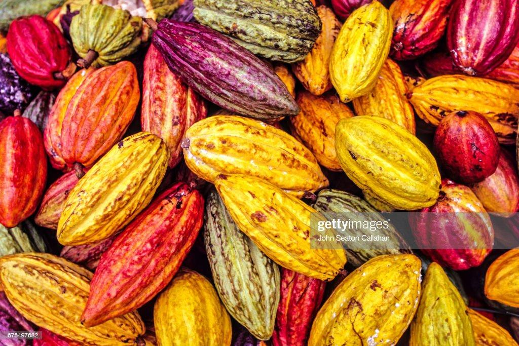 Cocoa Pods : Stock Photo