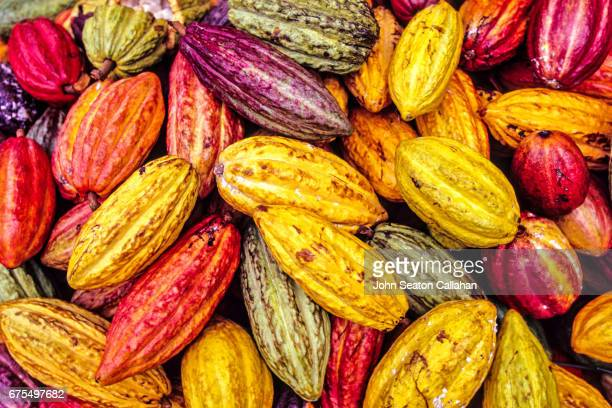 cocoa pods - theobroma stock photos and pictures