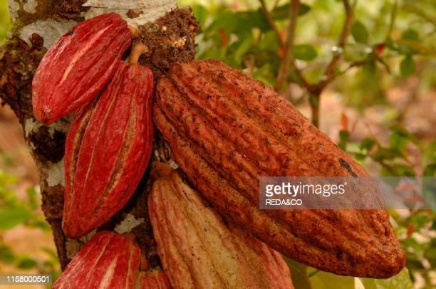 Cocoa pods plantation in Cuba