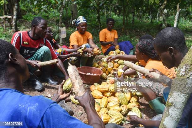 Cocoa producers of the YakasseAttobrou Agricultural Cooperative unshell cocoa beans in a certified fair trade label cocoa plantation in Adzope on...