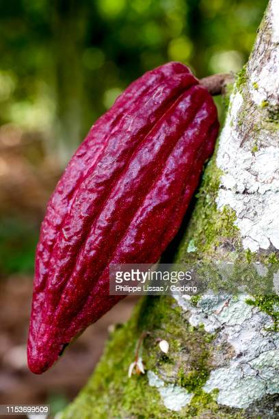 cocoa sapling in a plantation near agboville, ivory coast. - côte d'ivoire stock pictures, royalty-free photos & images