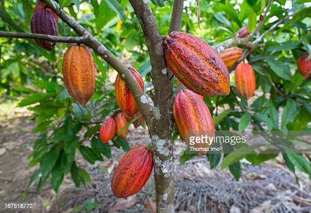 A cocoa tree bearing cocoa pods on October 30 2012 in Mondoni Cameroon