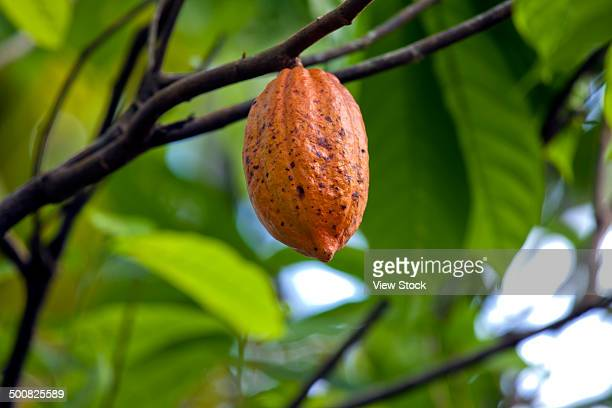cocoa tree in a rainforest - theobroma imagens e fotografias de stock