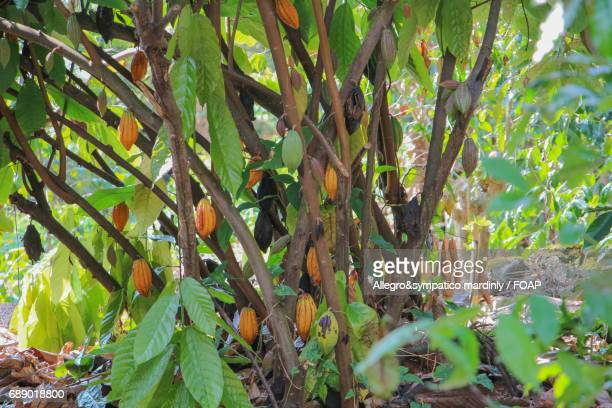 cocoa tree - cacao tree stock photos and pictures