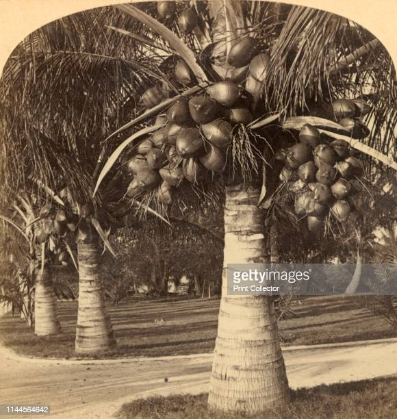 Cocoanut Trees in the white sands of Florida. USA', circa 1900. Heavily laden coconut palms. One image from a stereocard. By Underwood & Underwood.....