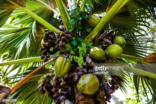 Cocode Mer Seychellenpalme Lodoicea maldivica Lodoicea seychellarum beruehmteste endemische Palmenart mit dem groessten Samen im gesamten...