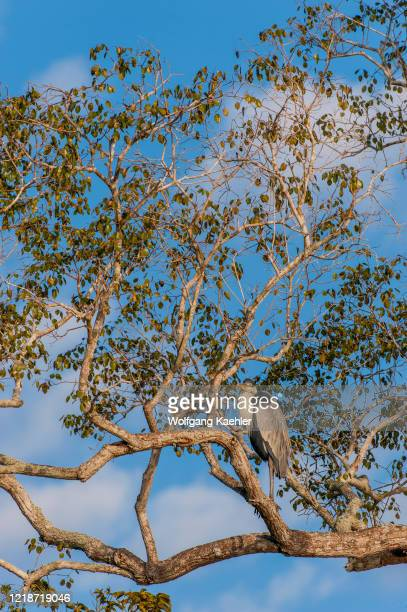 Cocoi heron is perched in tree along a tributary of the Cuiaba River near Porto Jofre in the northern Pantanal, Mato Grosso province in Brazil.