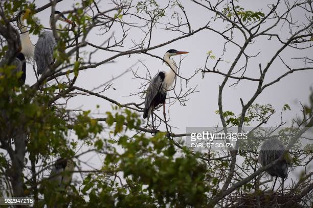 A Cocoi Heron perches on a branch at the Pantanal wetlands in Mato Grosso state Brazil on March 7 2018 The Pantanal is the largest wetland on the...