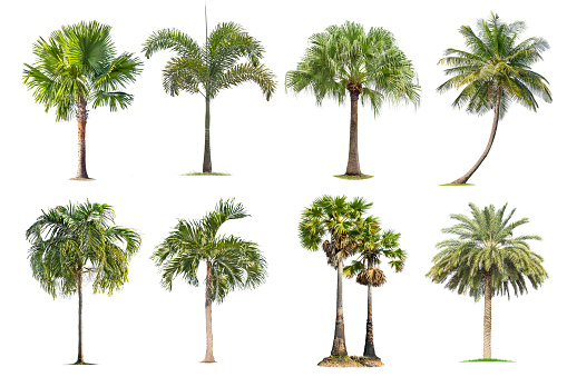 Coconut and palm trees Isolated tree on white background , 1154607367