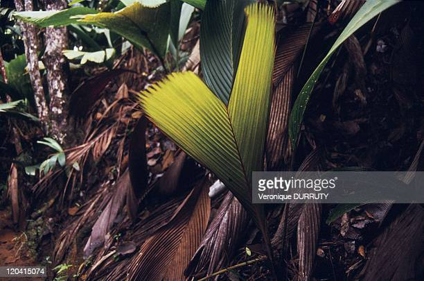 Coconut buttock natural reserve of the Mai forest in Praslin Seychelles Vallee de mai nature reserve is part of the UNESCO World heritage In the...