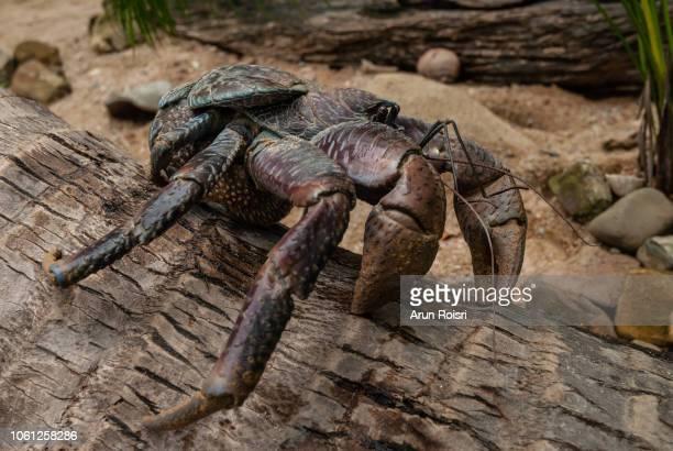coconut crab : birgus latro - coconut crab stock pictures, royalty-free photos & images