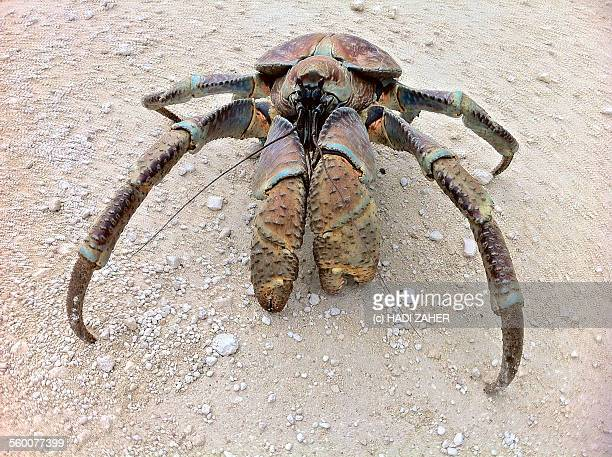 coconut crab | christmas island | australia - coconut crab stock pictures, royalty-free photos & images