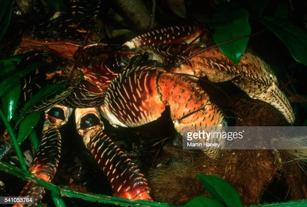 coconut crab crab - coconut crab stock pictures, royalty-free photos & images