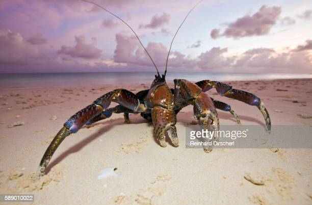 coconut crab on a bikini atoll beach (birgus latro), marshall islands, micronesia, pacific ocean - coconut crab stock pictures, royalty-free photos & images