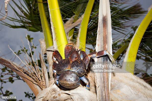 coconut crab on a palm tree (birgus latro) - coconut crab stock pictures, royalty-free photos & images