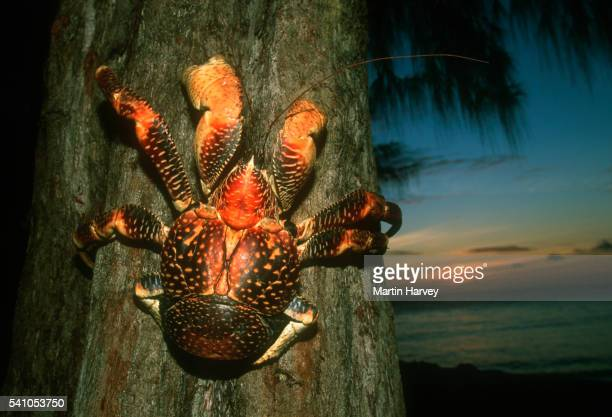 coconut crab on tree - coconut crab stock pictures, royalty-free photos & images