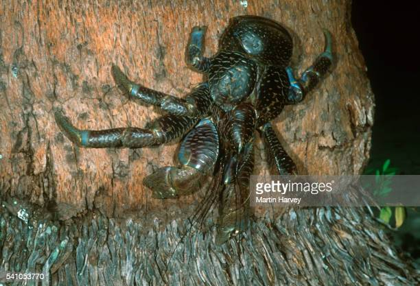 coconut crab on tree trunk - coconut crab stock pictures, royalty-free photos & images