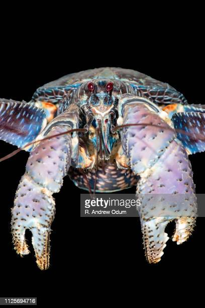coconut crab - coconut crab stock pictures, royalty-free photos & images