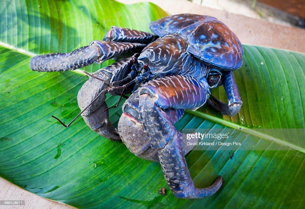 Coconut crab (Birgus latro) : Stock Photo