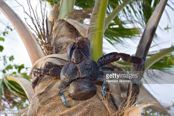 coconut crab, robber crab at bikini beach, birgus latro, marshall islands, bikini atoll, micronesia - coconut crab stock pictures, royalty-free photos & images