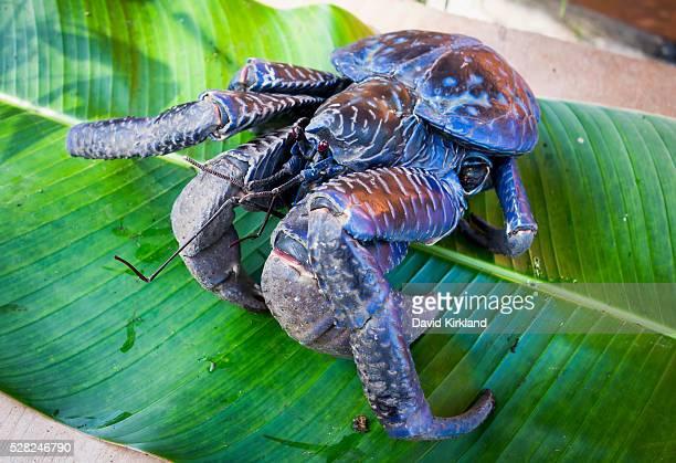 coconut crab (birgus latro); vanuatu - coconut crab stock pictures, royalty-free photos & images