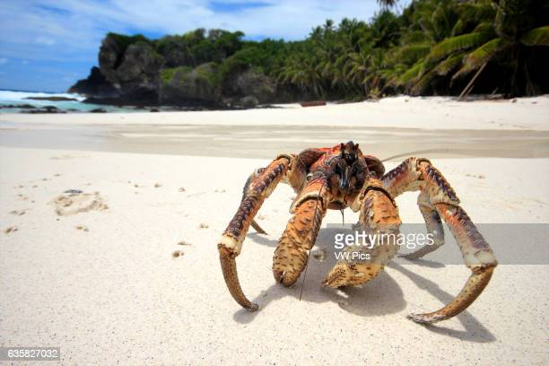 A Coconut Crab wanders across Dolly Beach on Christmas Island Indian Ocean Australia