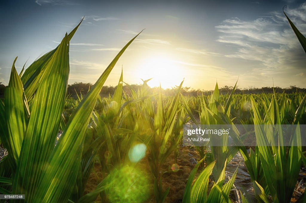 Coconut farm, Fortaleza, Brazil : Stock Photo