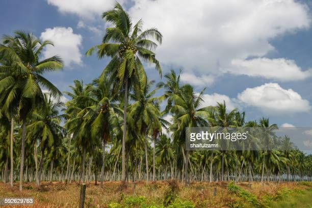 coconut farm - shaifulzamri stock pictures, royalty-free photos & images