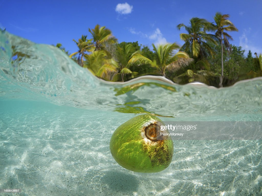 COCCO galleggiante in acque tropicali Albero di Palm Beach : Foto stock