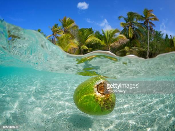 COCCO galleggiante in acque tropicali Albero di Palm Beach