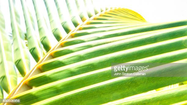 Coconut Frond on Catanduanes Island