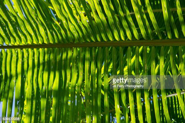 coconut fronds - samoa stock pictures, royalty-free photos & images