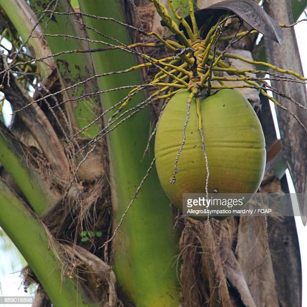 Coconut fruit on a tree
