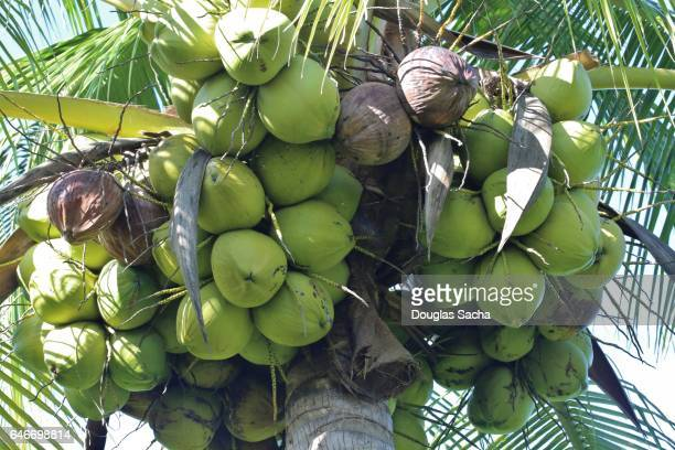 coconut fruits hanging from palm tree (cocos_nucifera) - pacific islands stock pictures, royalty-free photos & images