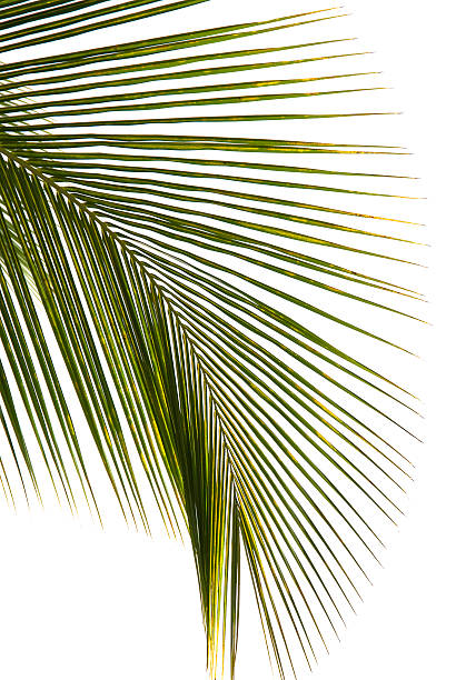 Coconut Leaf Isolated On White Background Wall Art