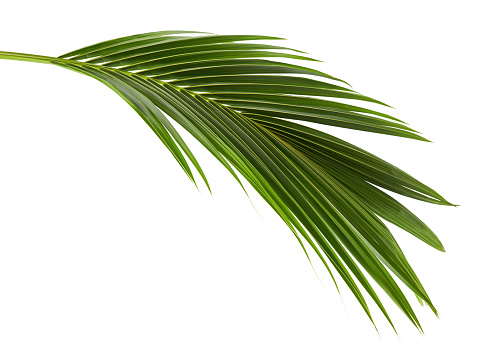 Coconut leaves or Coconut fronds, Green plam leaves, Tropical foliage isolated on white background with clipping path 913961554
