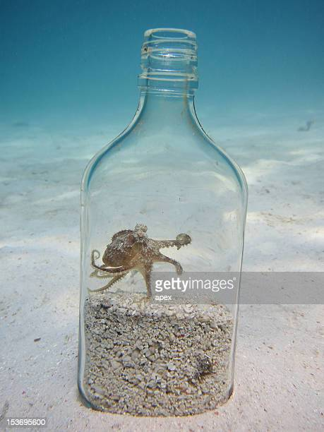 coconut octopus - mabul island stock photos and pictures