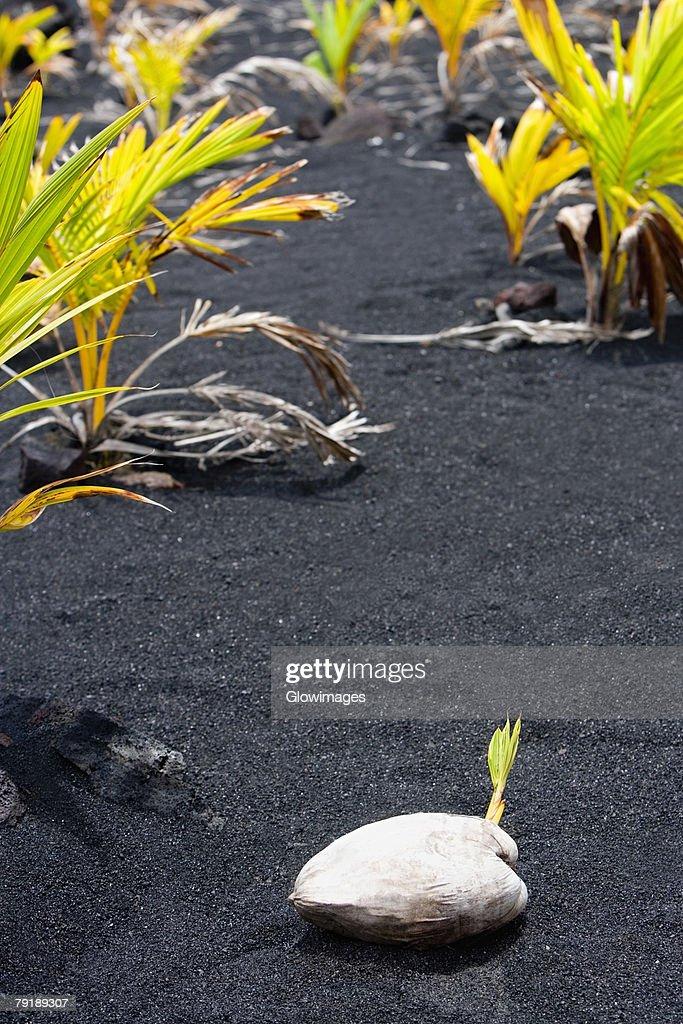 Coconut on black sand, Kalapana, Big Island, Hawaii Islands, USA : Stock Photo