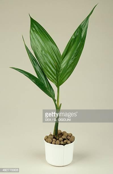 Coconut palm Arecaceae