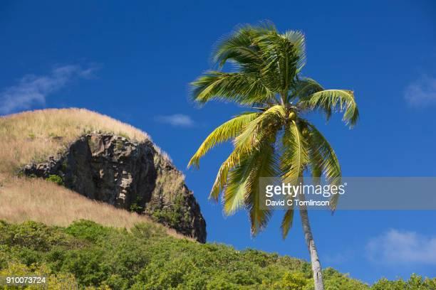Coconut palm beneath Signal Peak, Pigeon Island National Landmark, Gros Islet, St Lucia