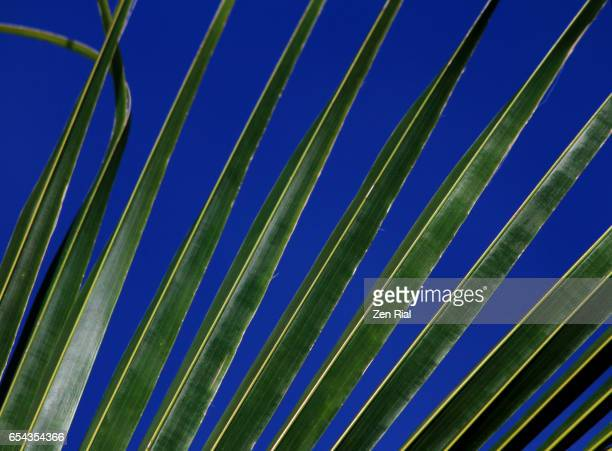 Coconut palm frond against very blue sky