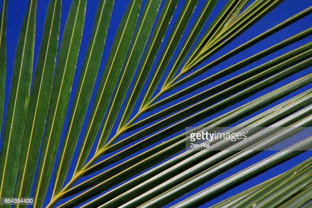 coconut palm frond against very blue sky - slanted stock photos and pictures